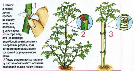 Фото инструкция по прививке чайной розы