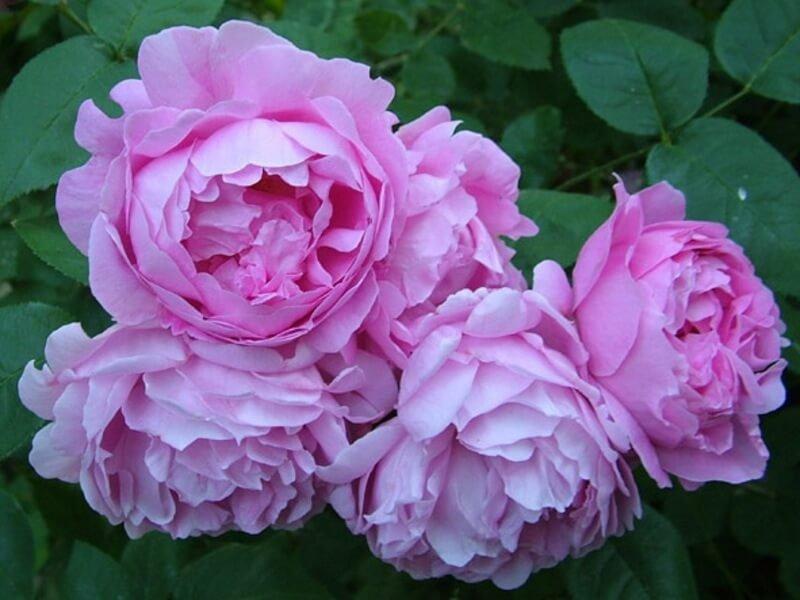 Фото чайной розы сорта Mary Rose