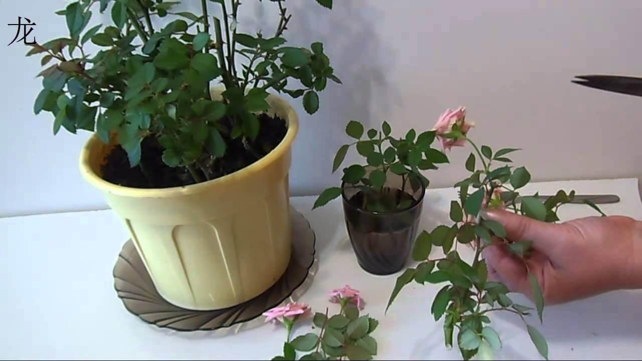 Фото обрезанной чайной розы