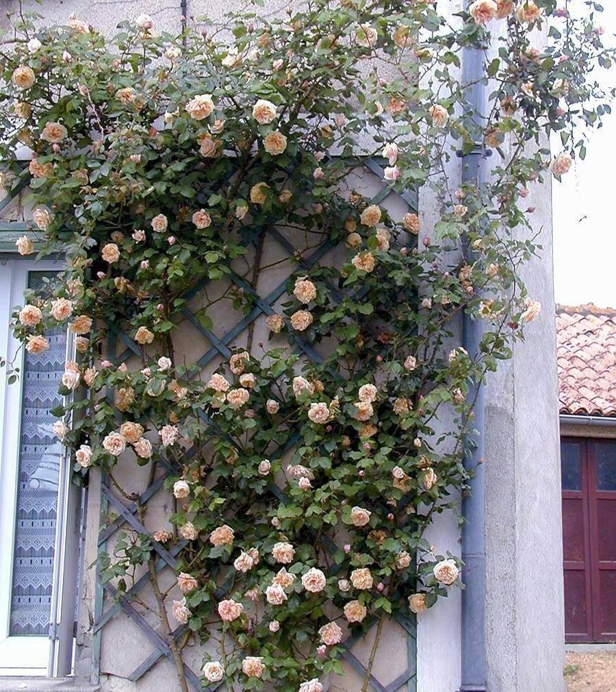Фото куста чайной розы сорта Gloire de Dijon