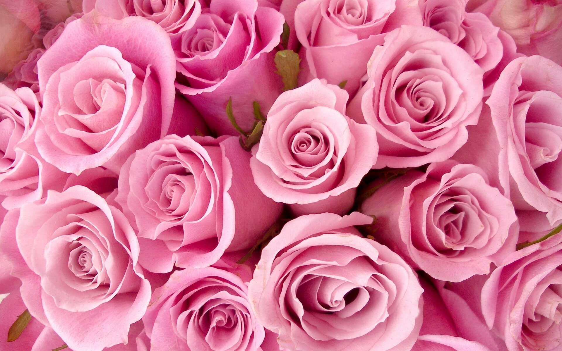 Фото розы крупным планом