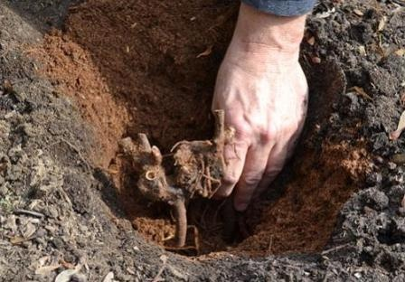 Процесс подготовки грунта для посадки роз
