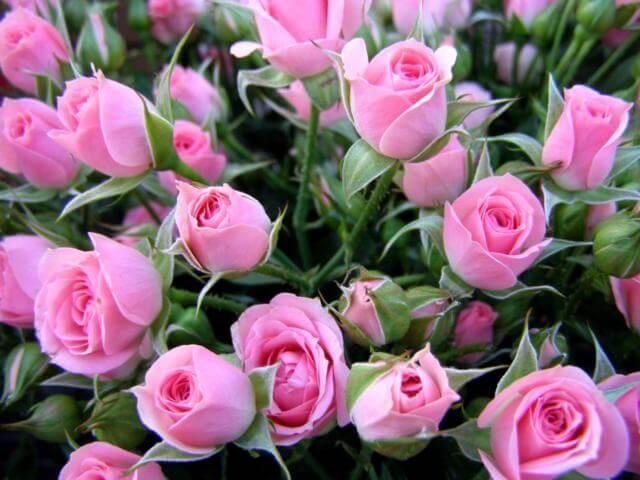 Фото роз светло розового цвета