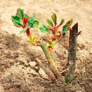 Росток розы, посаженный в песчаный грунт