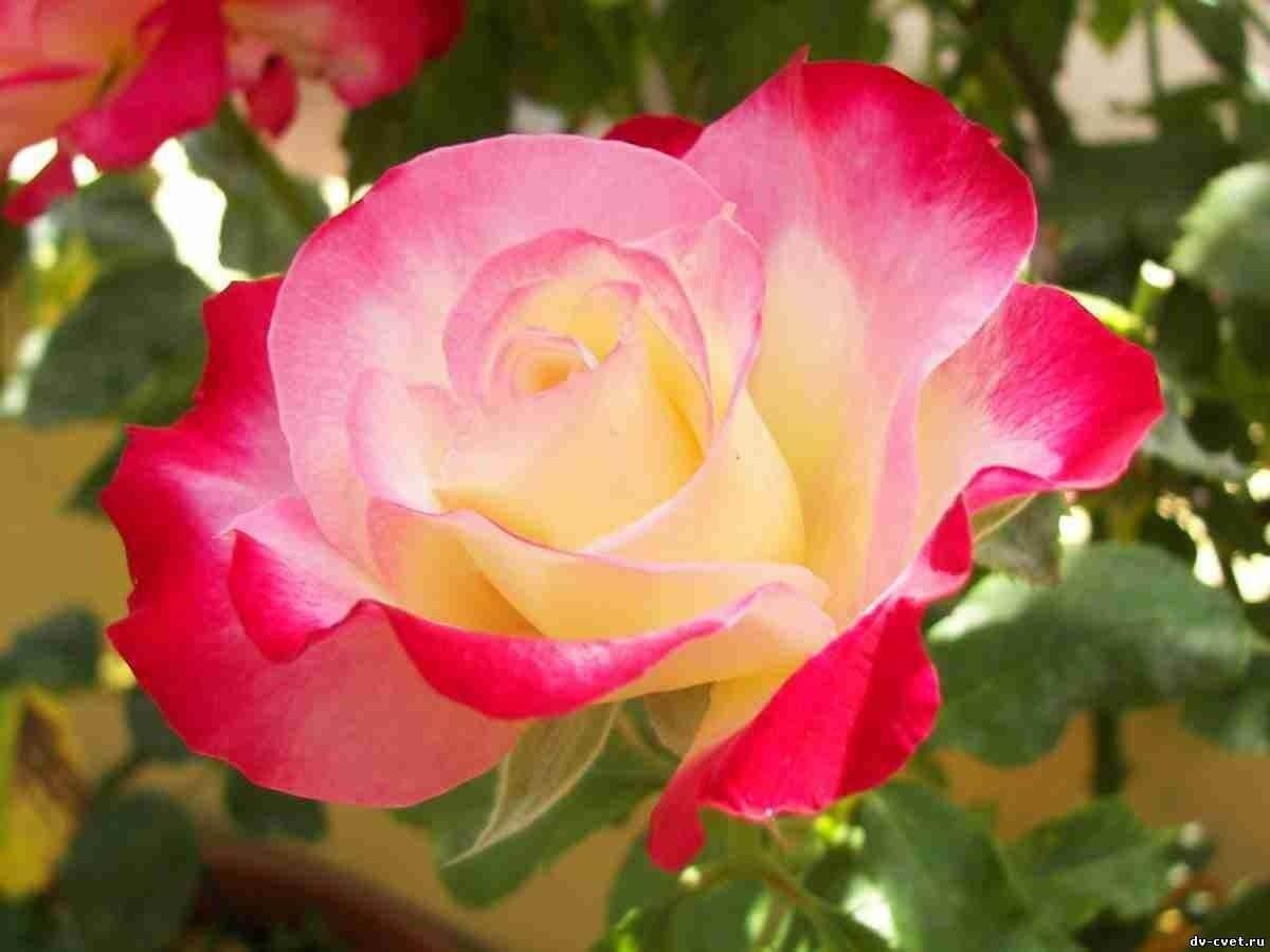 Фото чайной крупноцветковой розы