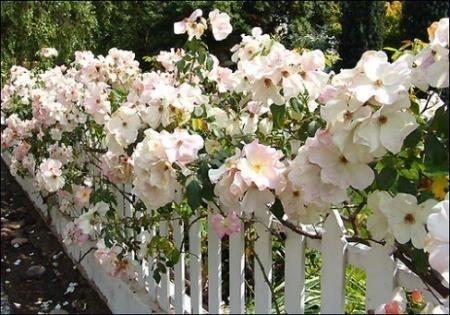 Фото роз Рамблеров