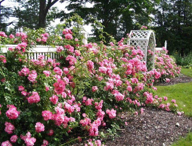 Фото кустов роз