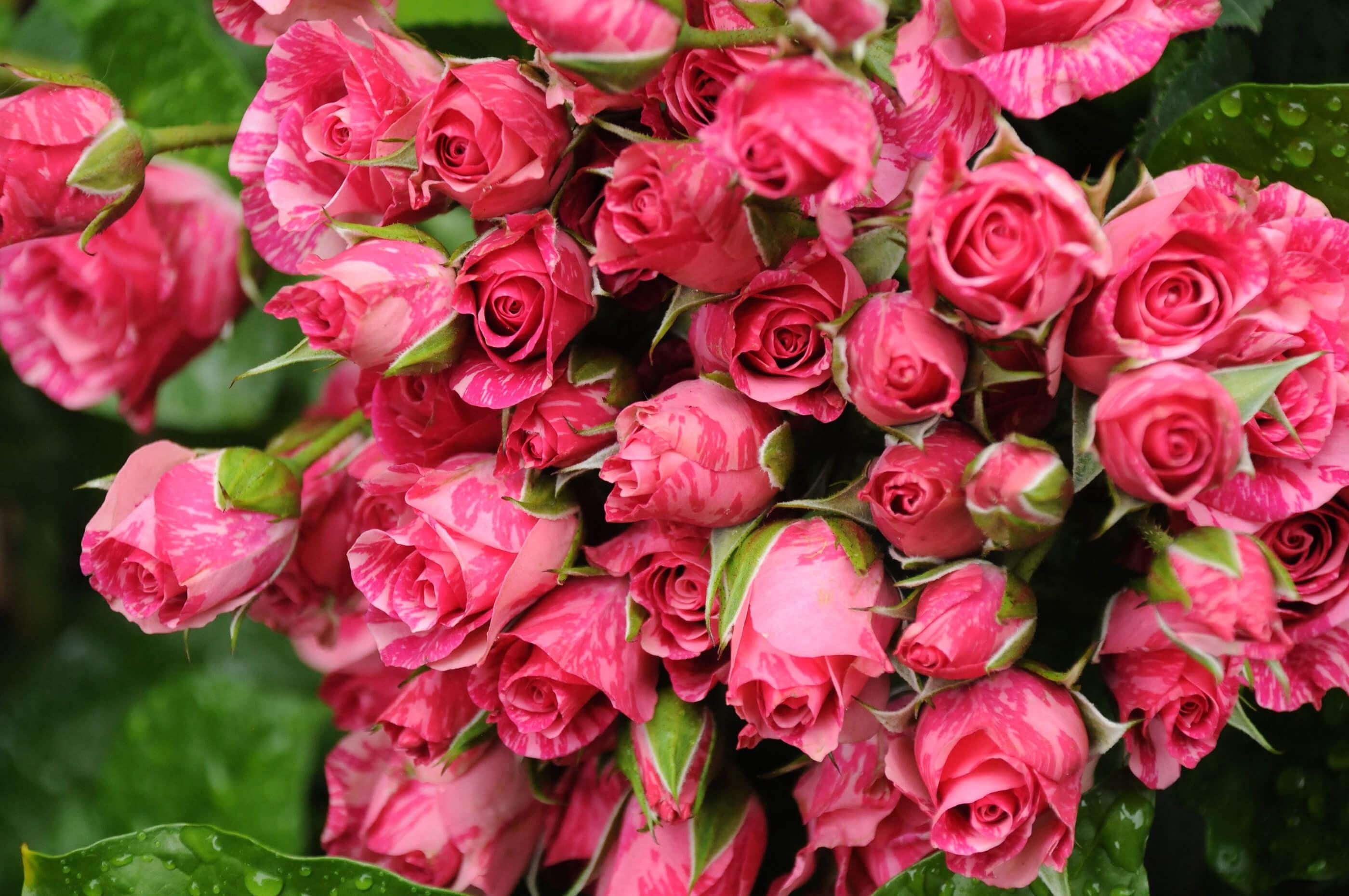 Фото крупным планом роз, посаженных осенью