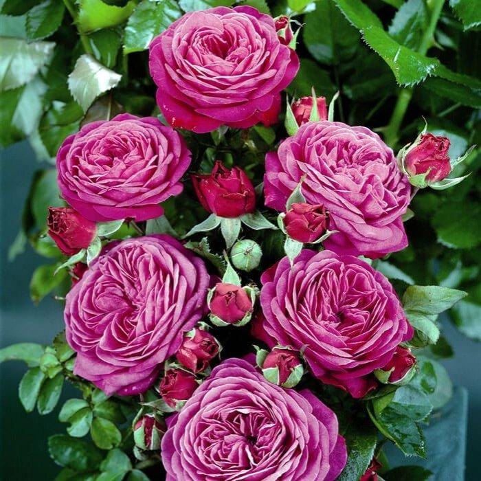 Фото розы Флорибунда - 2