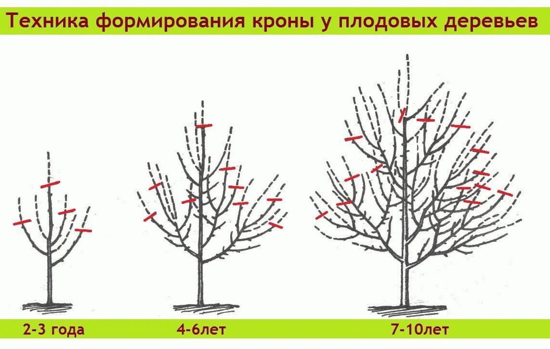 Схема формирования кроны дерева