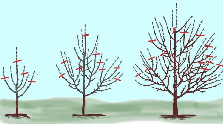 Схема обрезания яблони