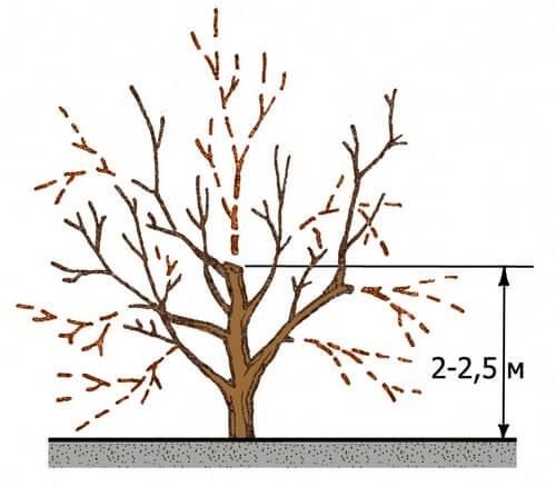 Схема обрезания абрикоса
