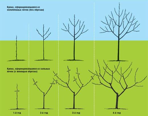 Схема обрезки дерева