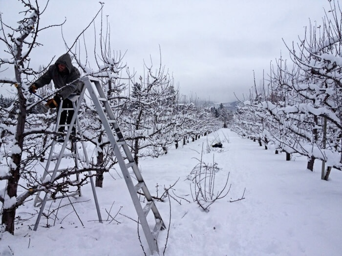 Процесс обрезания дерева зимой
