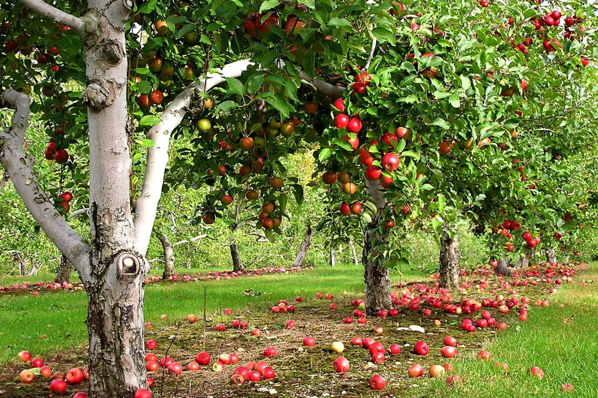 Фото обрезанной яблони
