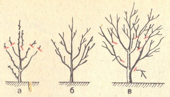 Схема обрезания вишни