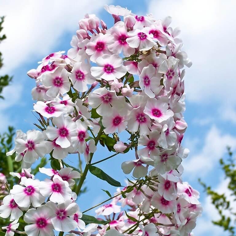Фото цветка Мак турецкий