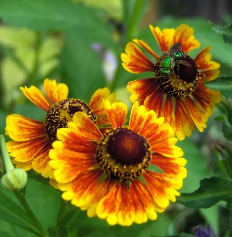 Фото цветка Дельфиниум