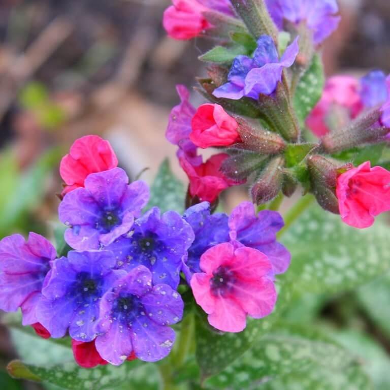 Фото цветка Пупочник весенний
