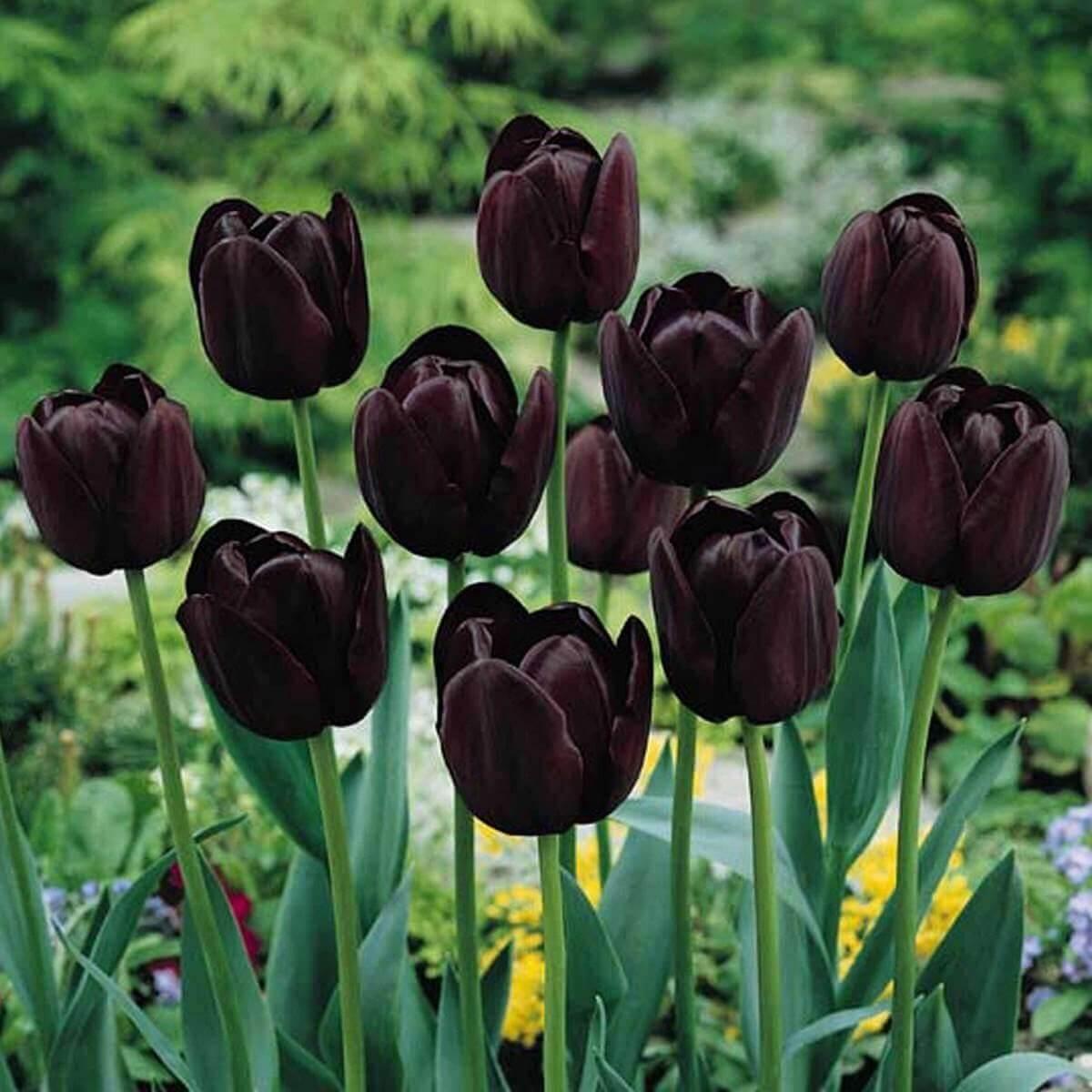 Фото клумбы из черных роз