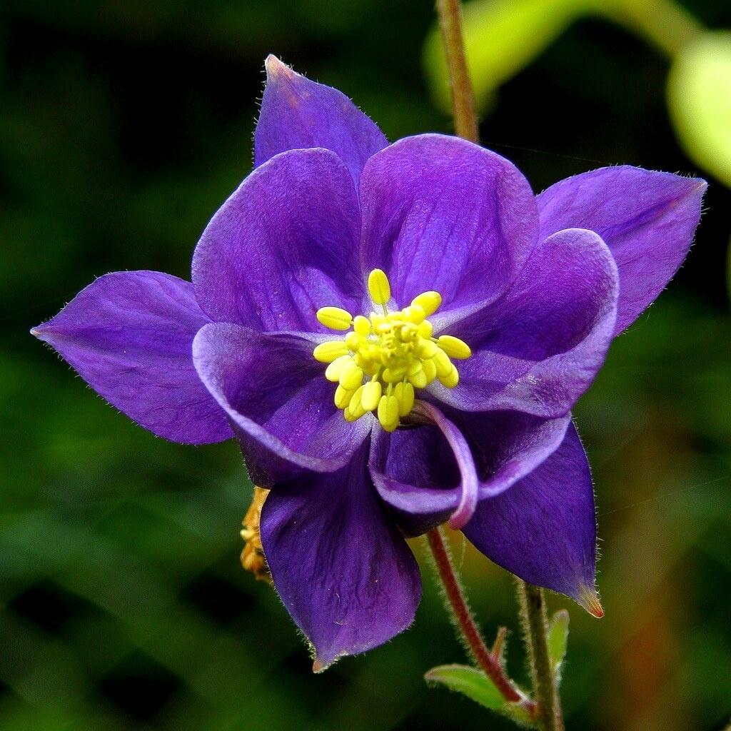 Фото цветка Пупавка красильная