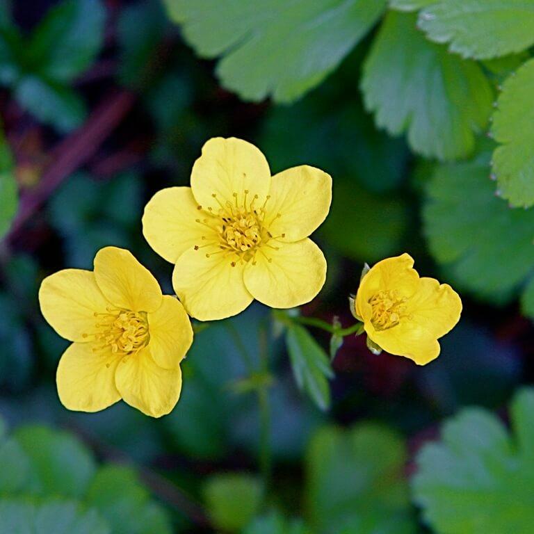 Фото цветка Барвинок малый