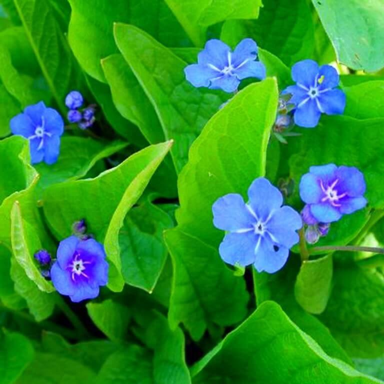 Фото цветка Гвоздика травянка