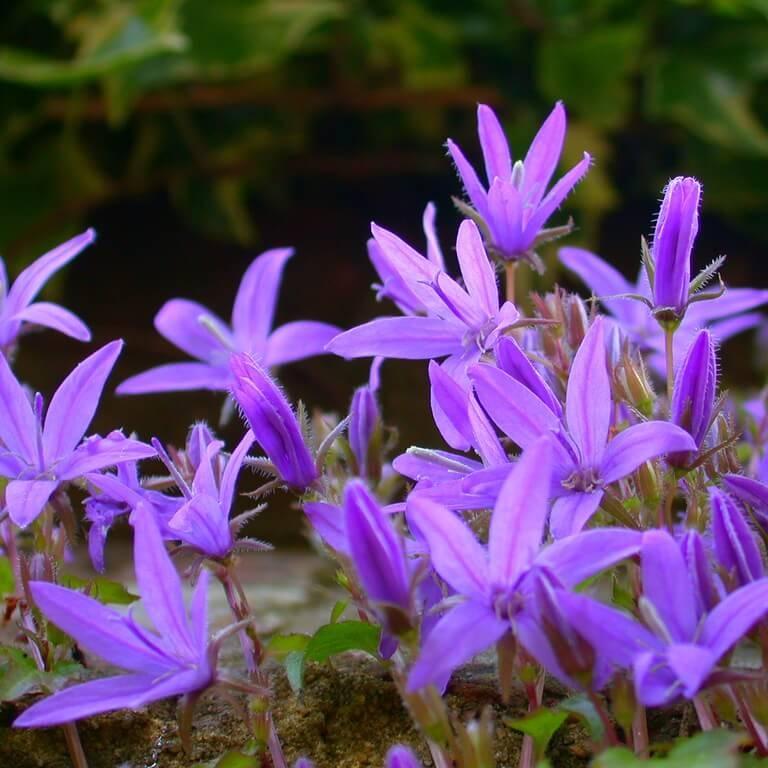 Фото цветка Обриета