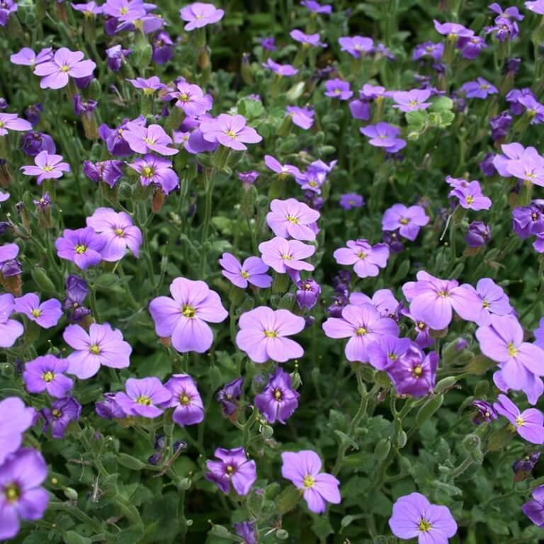 Фото цветка Живучка ползучая