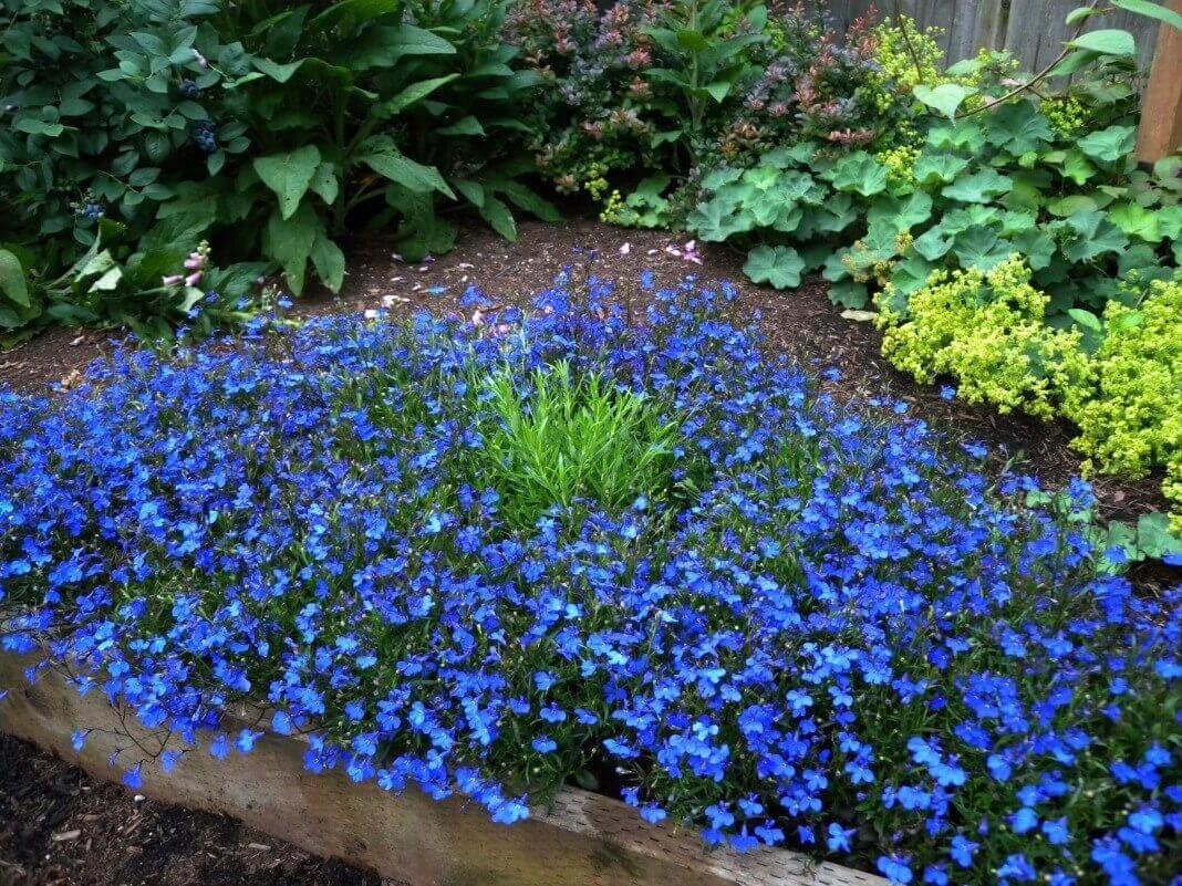 Фото сине-голубой клумбы