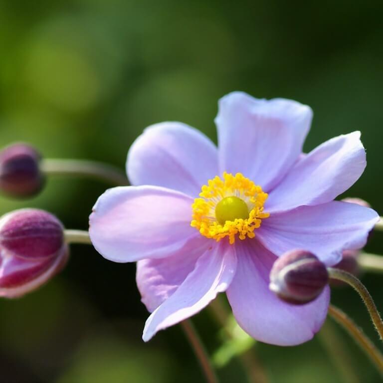 Фото среднерослого цветка многолетника
