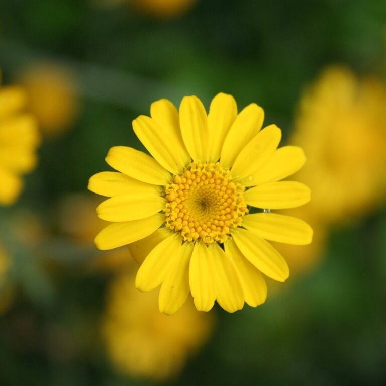 Фото цветка Ветреница