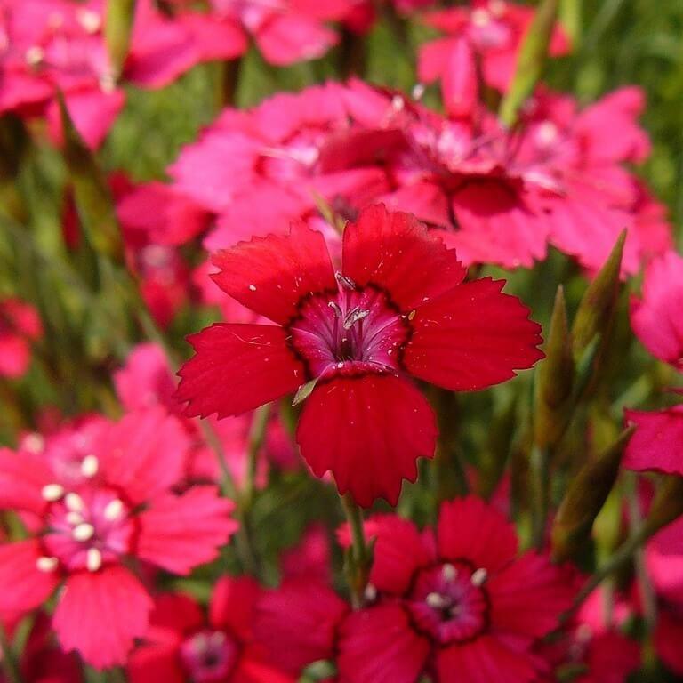 Фото цветка Колокольчик Посхарского