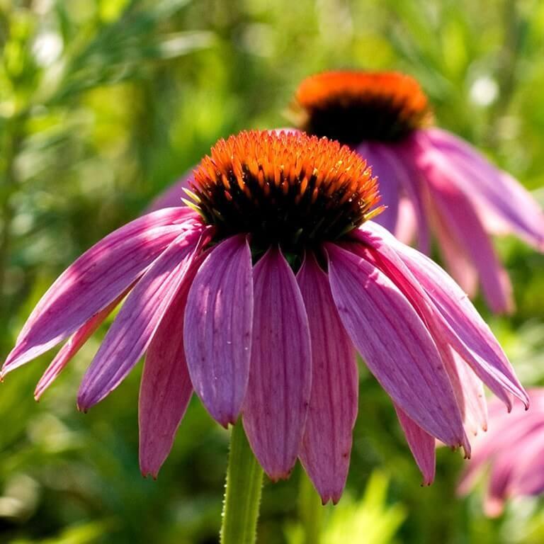Фото цветка Рудбекия