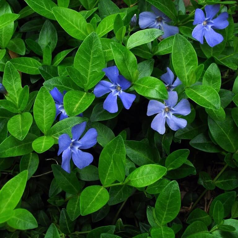 Фото цветка Вероника