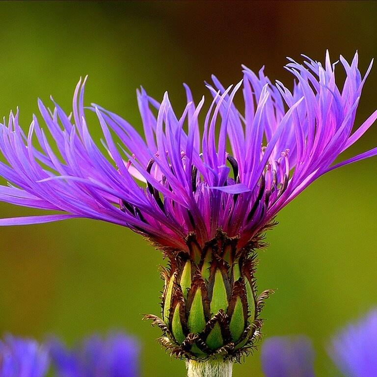 Фото цветка Аквилегия