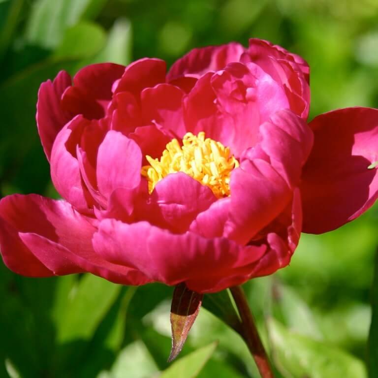 Фото цветка Люпин многолистный