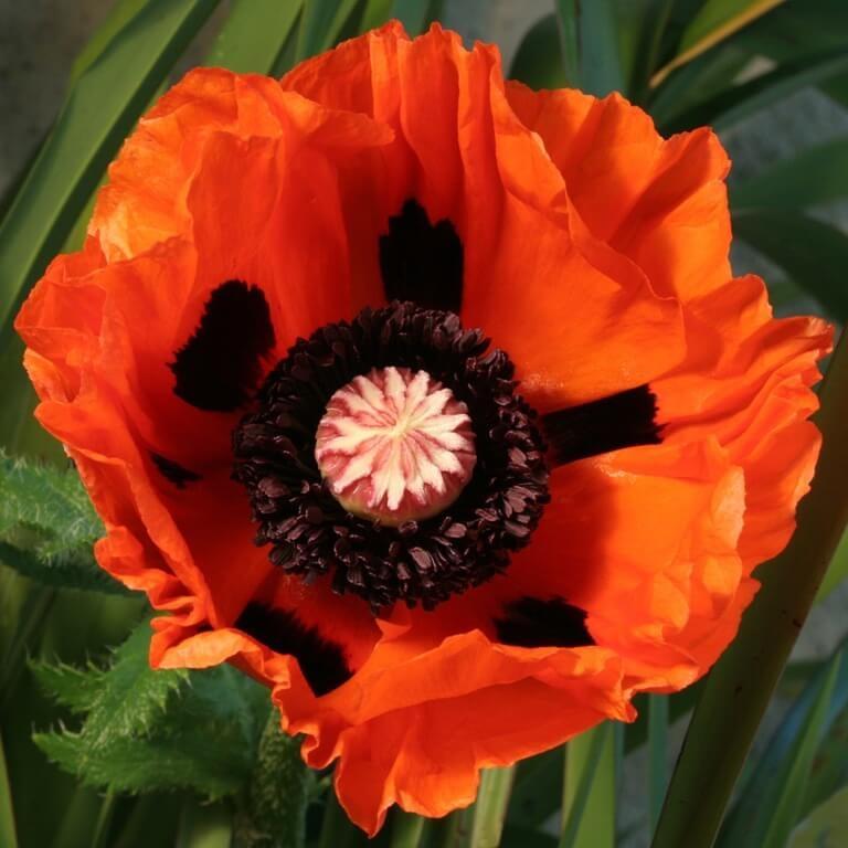 Фото цветка Пион молочноцветковый