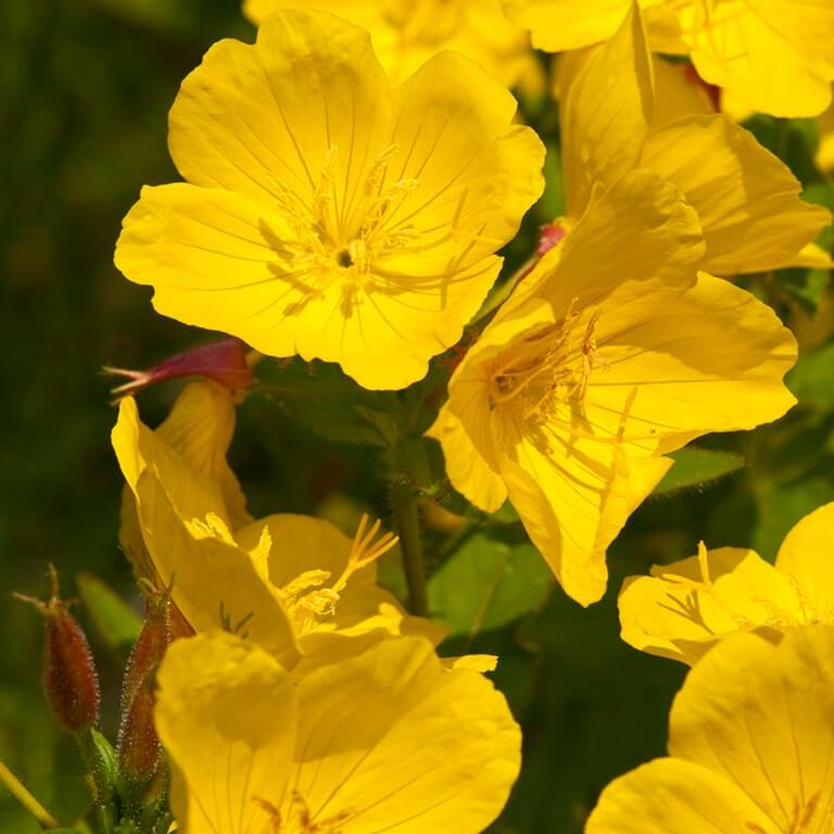 Фото цветка Примула канделябровая