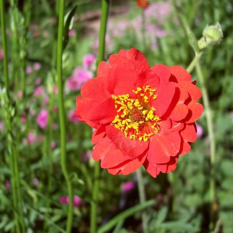 Фото цветка Дицентра великолепная