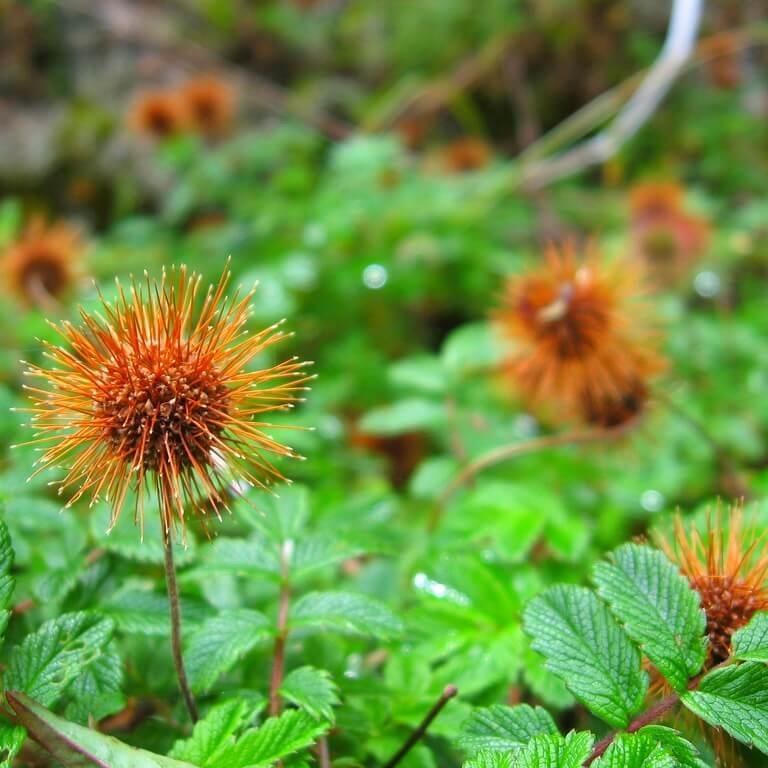 Фото почвопокровного цветка многолетника