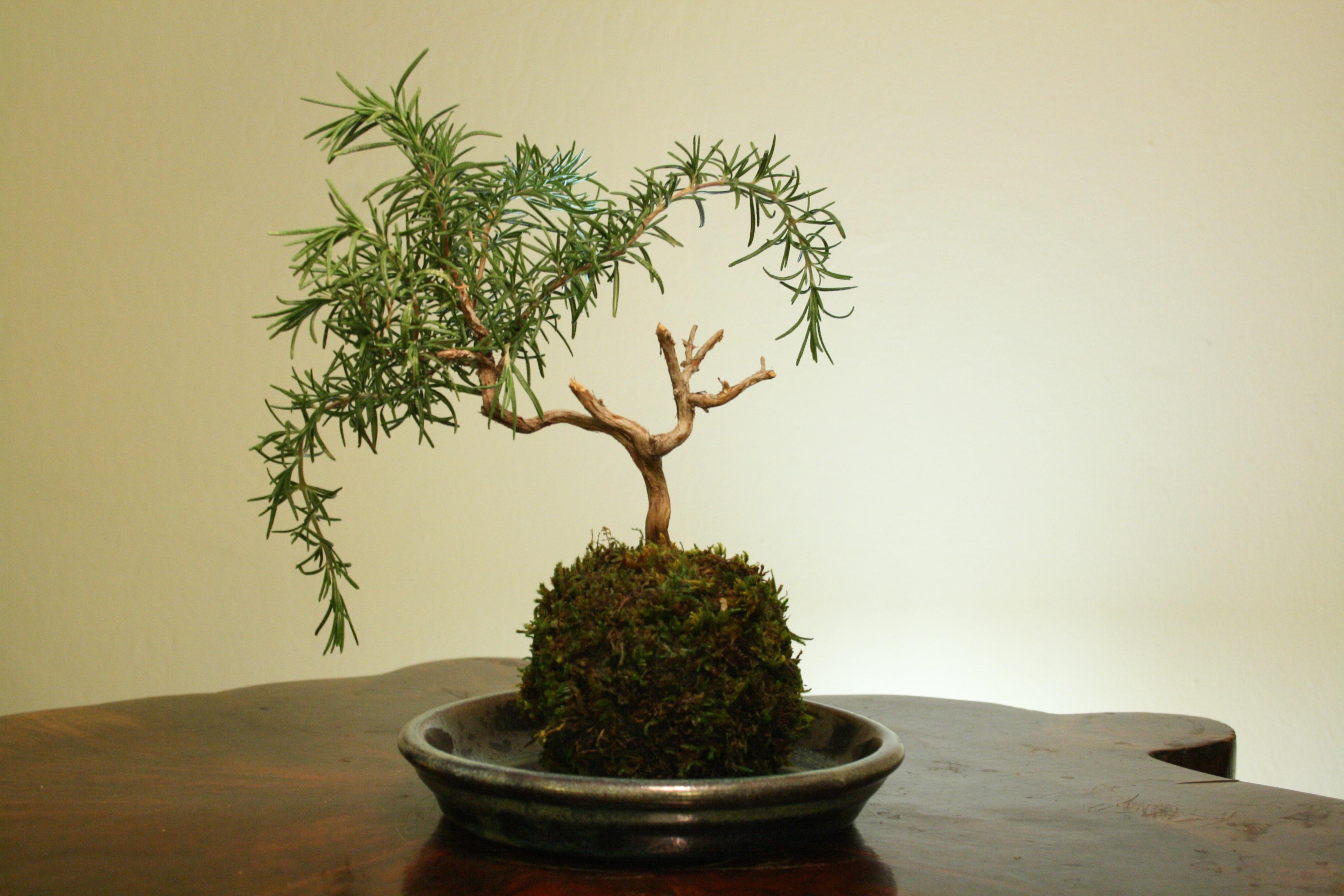 rosemary-bonsai-tree