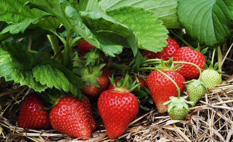 Как ухаживать за клубникой и земляникой в весеннем саду - archidea ...