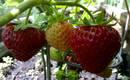 Время сажать клубнику на балконе – сорта, выращивание и уход
