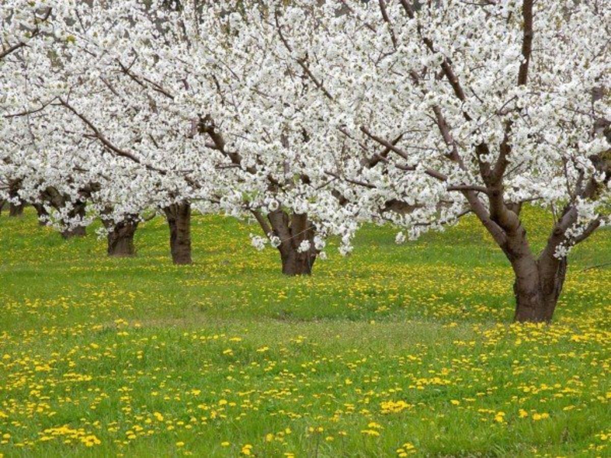 цветение плодовых деревьев